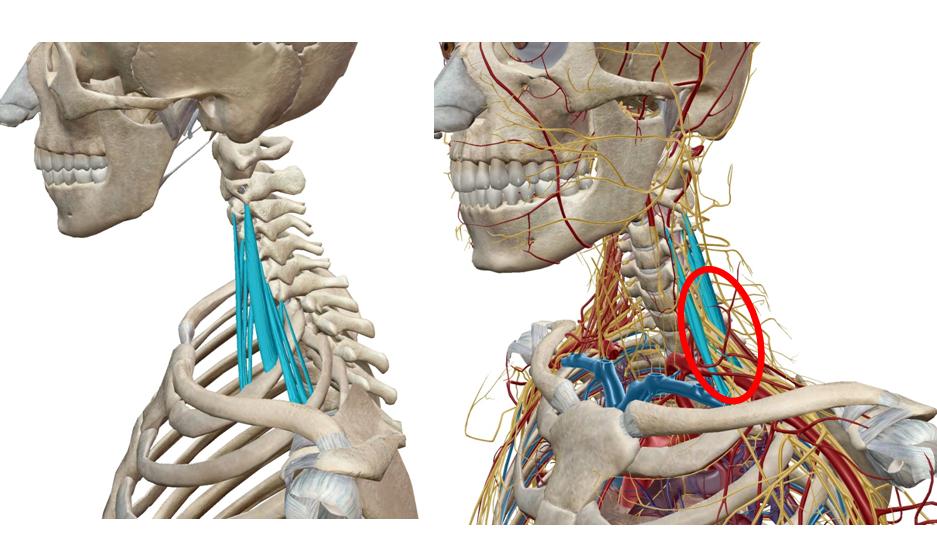 斜角筋ストレッチ|解剖