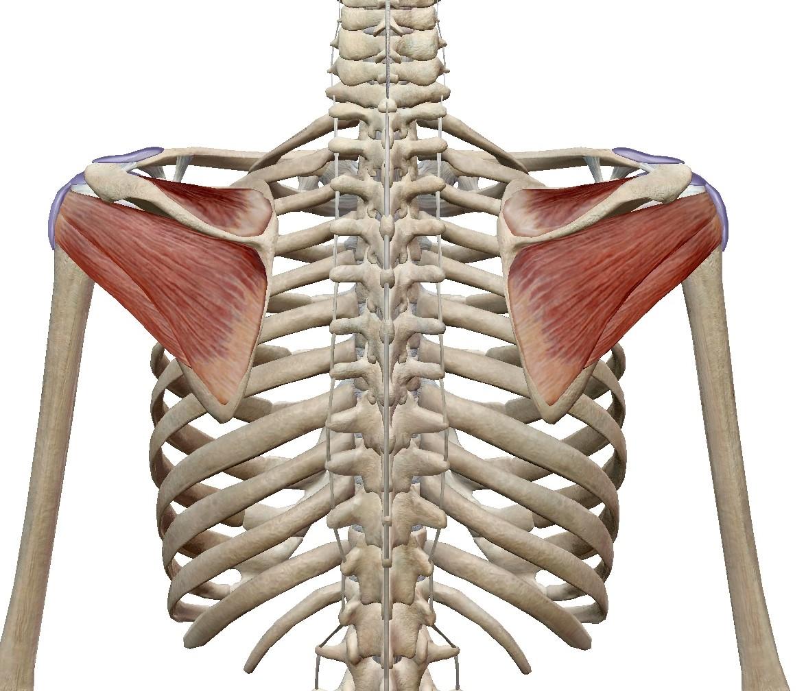 ローテーターカフストレッチ|解剖