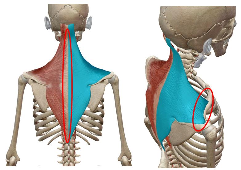 僧帽筋ストレッチ|解剖