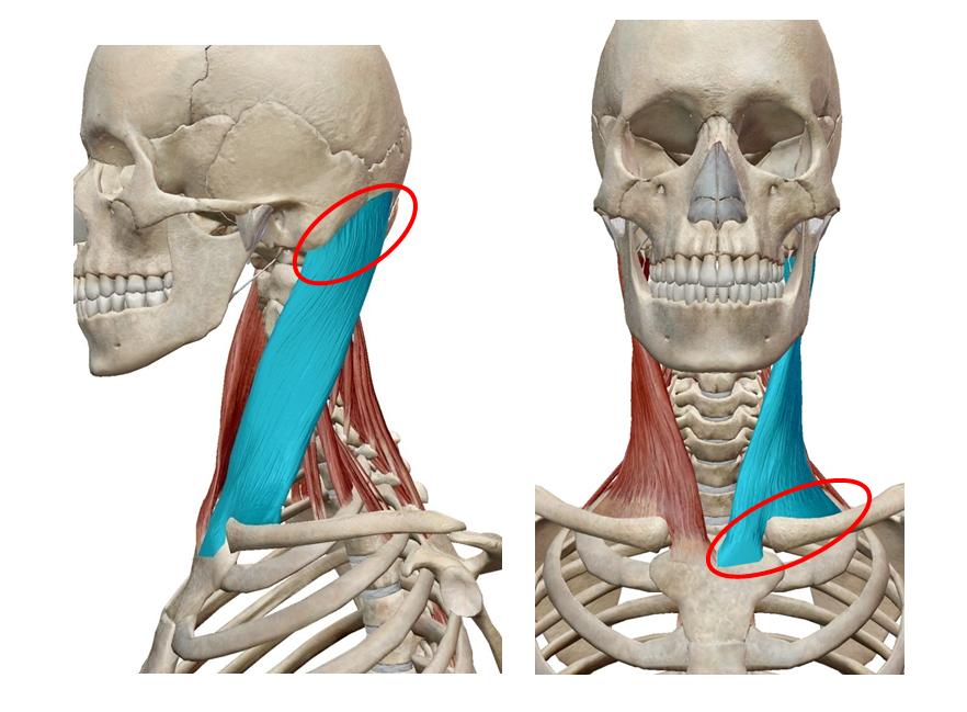 胸鎖乳突筋ストレッチ|解剖