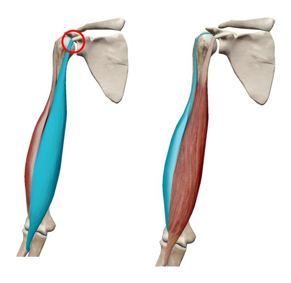 上腕二頭筋ストレッチ|解剖