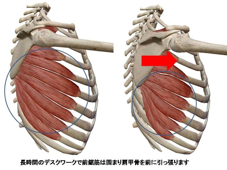 前鋸筋ストレッチ|解剖