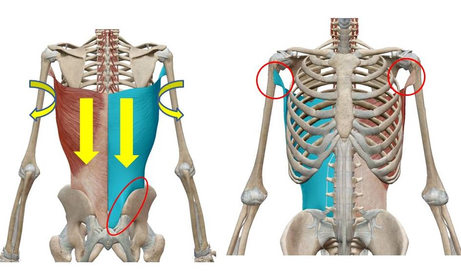 痛み 広背筋 【筋肉系:その3】背中の広範囲を覆っている広背筋!その位置や機能とは? |